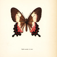 Butterfly Art, Neapolitan Swallowtail Print (Wall Hanging Art to Frame No. 32-1)