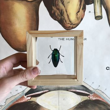 Double Glass Mounted Beetle in Wooden Frame