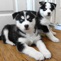 Foxtrottin' Northerns Puppies | Pomsky | Alusky | Wolf Hybrid