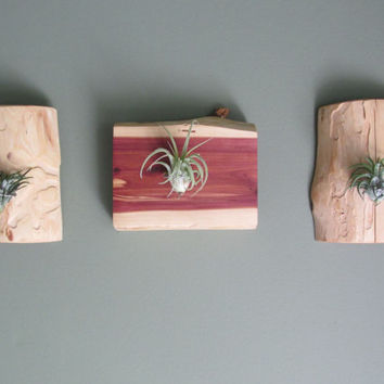 Cedar Air Plant Holder (Includes Airplant) - Wall Mounted Living Art