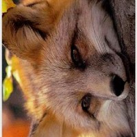 Rikki KnightTM Baby Fox Close-up Design iPhone 4 & 4s Case Cover (White Rubber with bumper protection) for Apple iPhone 4 & 4s