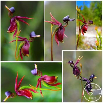 Flying Duck Orchid Seeds Rare Plant Black Orchid Seeds Garden Plants Potted Flowers Seeds 100 Pieces / Lot,#51WAR4