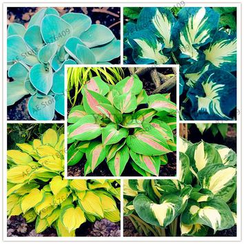 150pcs/bag Hosta Seeds Perennials Plantain Lily Flower White Lace Home pot Garden Ground Cover Plant Seed