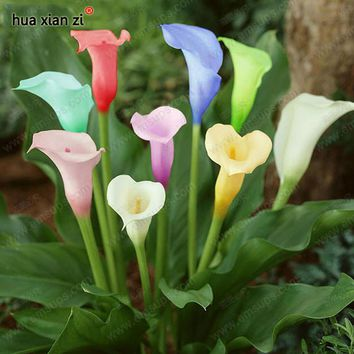 Flower Seeds Bonsai Colorful Calla Lily Seed Rare Plants Flowers Home Gardening DIY 100 Particles / lot