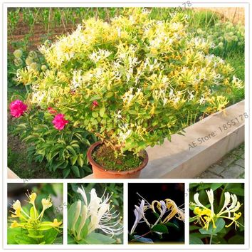 Honeysuckle Seeds Jinyinhua Seeds Chinese Herbal Medicine Planting Seeds Home Garden Plants Lonicera Japonica 104 Pcs