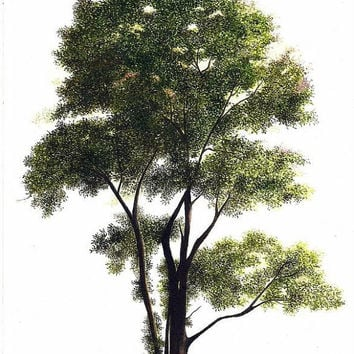 American Elm Tree Watercolor Painting