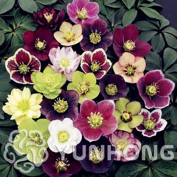 Free shipping 100 Seeds Rare Holland Christmas Rose seed Flowers Lover colorful Home Garden plants rare rainbow rose flower seed