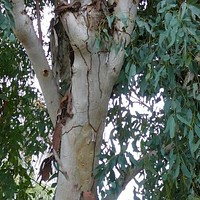 Eucalyptus Red Gum Tree Seeds (Eucalyptus camaldulensis) 100+Seeds