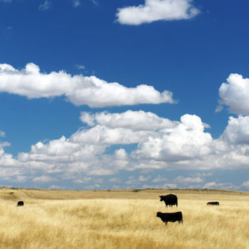 Black Cows, Blue Sky, Digital Art Print, Home Decor, Ready to Frame Photo, Wall Hanging, Nature Photograph, Prairie, Wheat, Endless Nebraska