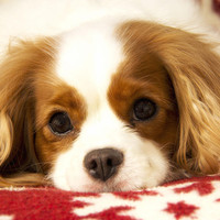 Snowflake Cavalier Photograph by Daphne Sampson - Snowflake Cavalier Fine Art Prints and Posters for Sale