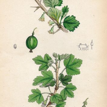 "Sowery Fruit Print - 1877 - ""GOOSEBERY"" - Hand-Colored Botanical Lithograph"