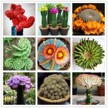 100 Mixed cactus flower seeds Succulent seeds lotus Lithops Pseudotruncatella seeds bonsai plant for home garden,easy to grow
