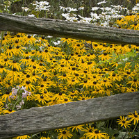 Flower Seeds - BLACK-EYED SUSAN - Super Easy to Grow!