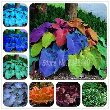 Free shipping 50pcs/pack Hosta Seeds Perennials Plantain Lily Flower White Lace Home Garden Ground Cover Plant