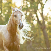 Fine Art Horse Photography, Picture of a Palomino Horse