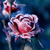 flower, flowers, frost rose, ice, nature, photography - inspiring picture on Favim.com
