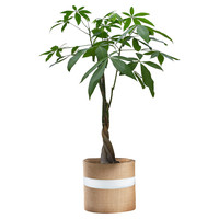"36"" Money Tree, Live, Trees"