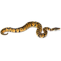 Fancy Ball Python | Live Reptiles | PetSmart