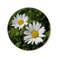 White Daisy Round Stickers from Zazzle.com