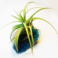 Live Air Plant Tillandsia Turquoise Crystal Garden - Space Cave Geode - Terrarium - Science and Geology Gifts