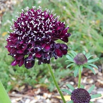 Pincushion Double Purple Flower Seeds (Scabiosa Atropurpurea) 15+Seeds