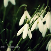 Spring Snowdrops - 8x10 Fine Art Ph.. on Luulla