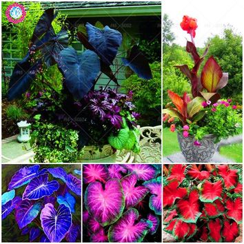 5pcs Canna seeds Black flower seed Perennial indoor or outdoor plants potted Large leaf flowering Bonsai plant for home garden