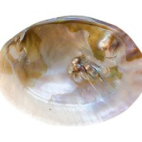 Venus Pearl Oyster Shell