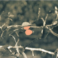hand-colored photograph//hand-painted rosehip/sepia background/photo art/vintage styled/wall decor/salmon color/home decor