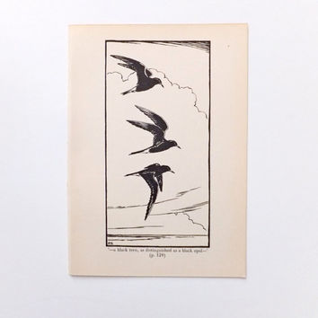 Black terns, Vintage Black and White Picture of birds, Black and White Art, Natural History