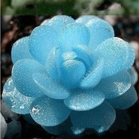 150 Seeds Blue witchford Lithops seeds Beautiful flower seed Pseudotruncatella seed Perennial for Home Stone Flowers