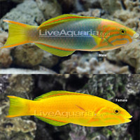 Saltwater Aquarium Fish for Marine Aquariums: Banana Wrasse