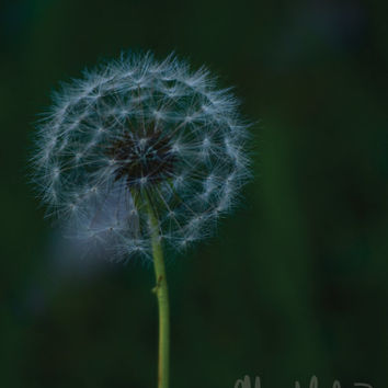 Color Photography - Dandelion - fine art print, home decor, wall photo, dandelion, nature