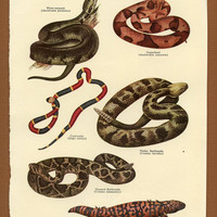 Poisonous Reptiles of the United States Scientific Identification Vintage / Antique Print, Snakes and Lizards