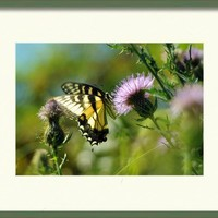 Eastern Tiger Swallowtail On Thistle Framed Print By Rebecca Sherman