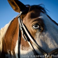 Paint Horse Photograph, Pony Photo, Equestrian Photo, Animal Photography, Eyes, Rustic, Rural, Country, Farms, Horses Home Decor, Wall Art