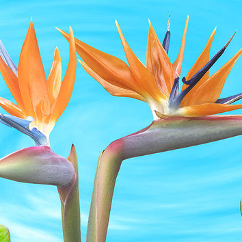 Birds Of Paradise. Couple by Ben and Raisa Gertsberg