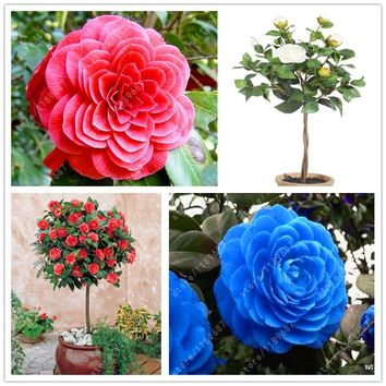 100% Real Common camellia seeds, (camellia japonica), bonsai flower seeds potted outdoor plants DIY for home garden 5 pcs/bag