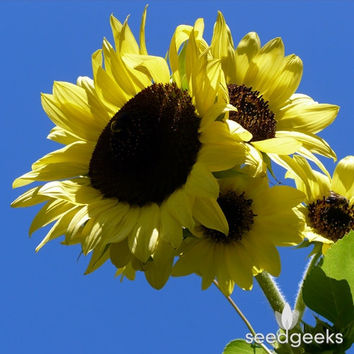 Lemon Queen Sunflower Heirloom Seeds - Non-GMO, Open Pollinated, Untreated, Flower Seeds