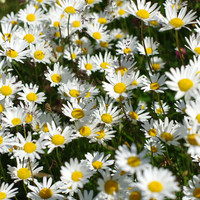 The oxeye Daisy flowers photography instant download, fall home decore, digital download nature photography, downloadable floral print