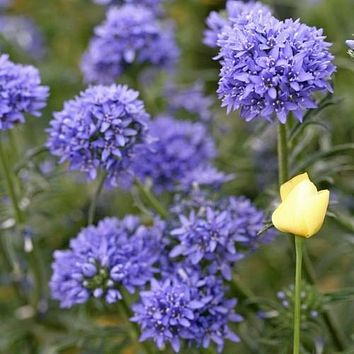 Queen Anne's Thimbles Flower Seeds (Gilia Capitata) 200+ Seeds
