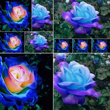 50pcs Rare Blue-Pink ROSE Flower Seeds yard Bonsai Garden Decoration Beautiful HJ067