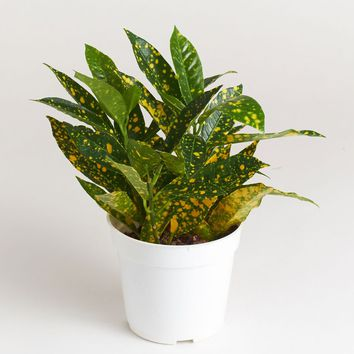 "LIVE 4"" Croton Apple Leaf Indoor House Plant - Ships Alone"