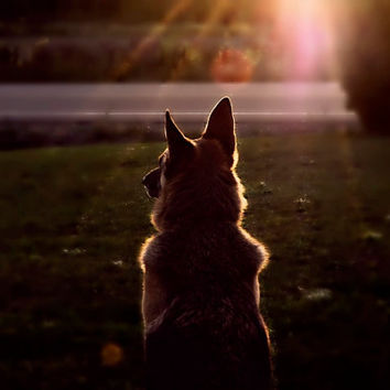 German Shepherd Photography  german shepherd silhouette,sunset,copper,animal lovers,summer,autumn,gifts under 25,dog lovers gift idea,golden