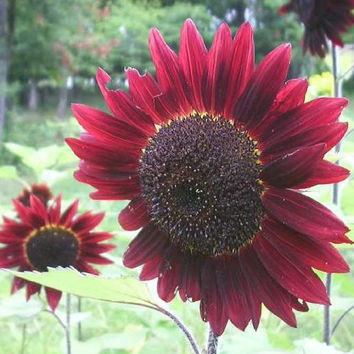 Helianthus Annuus Velvet Queen Sunflowers - 50+ Seeds