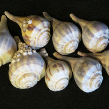 Pear Whelk Shells, 8, from N. Florida, Natural, Found Objects