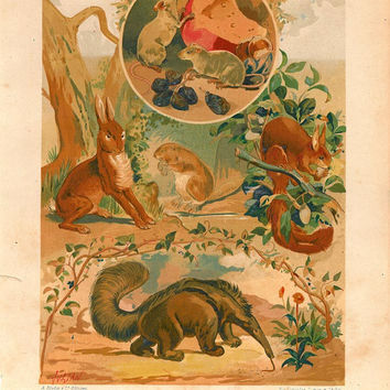 1883 Antique Rodents and  Edentata Chromolithograph Mammals Print