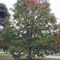 Indian Horse Chestnut Tree Seeds (Aesculus indica)