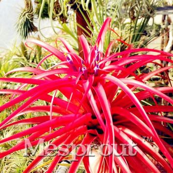 100 PCS  Air plant Seed Tillandsia Seed Tillandsia Ionantha Seed Soilless Cultivated Plants Air Purification Plant Bonsai Seeds