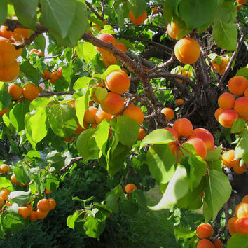 Apricot fruit tree - Flowering prunus mandshurica Seeds